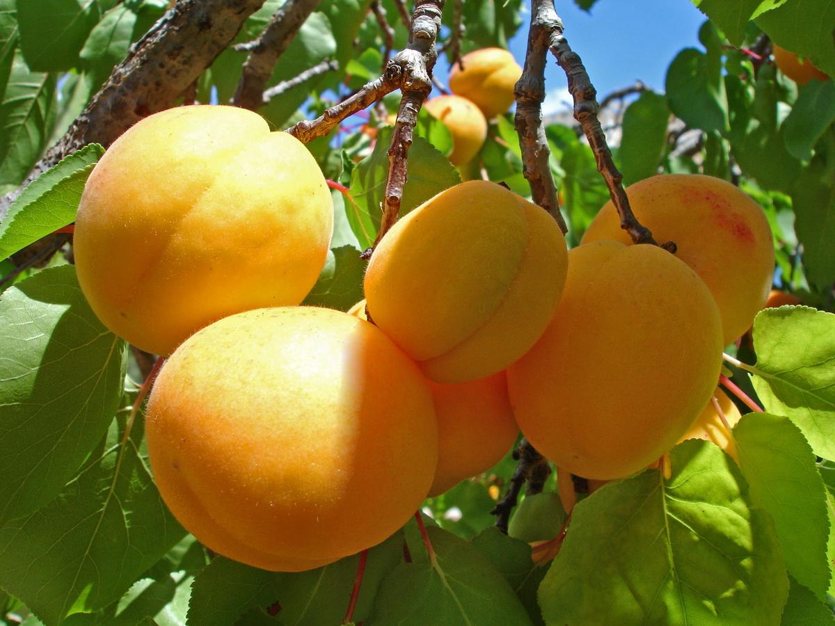 appricot